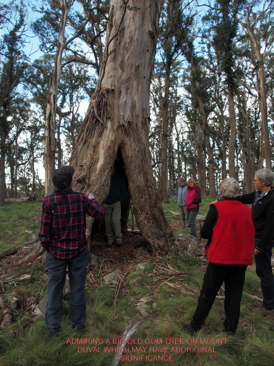 ADMIRING A BIG OLD GUM TREE ON MOUNT DUVAL WHICH MAY HAVE ABORIGINAL SIGNIFICANCE