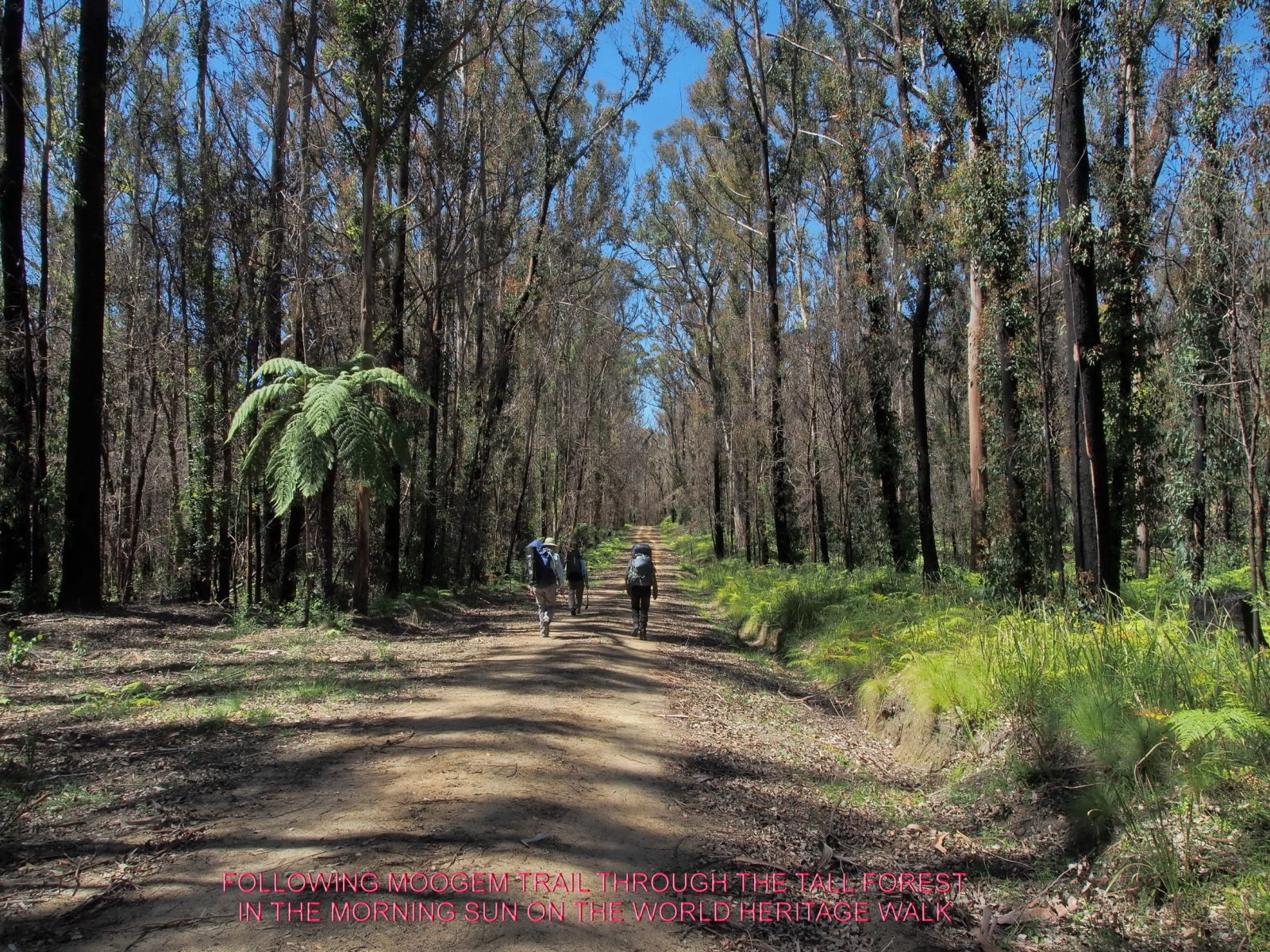 FOLLOWING MOOGEM TRAIL THROUGH THE TALL FOREST IN THE MORNING SUN ON THE WORLD HERITAGE WALK