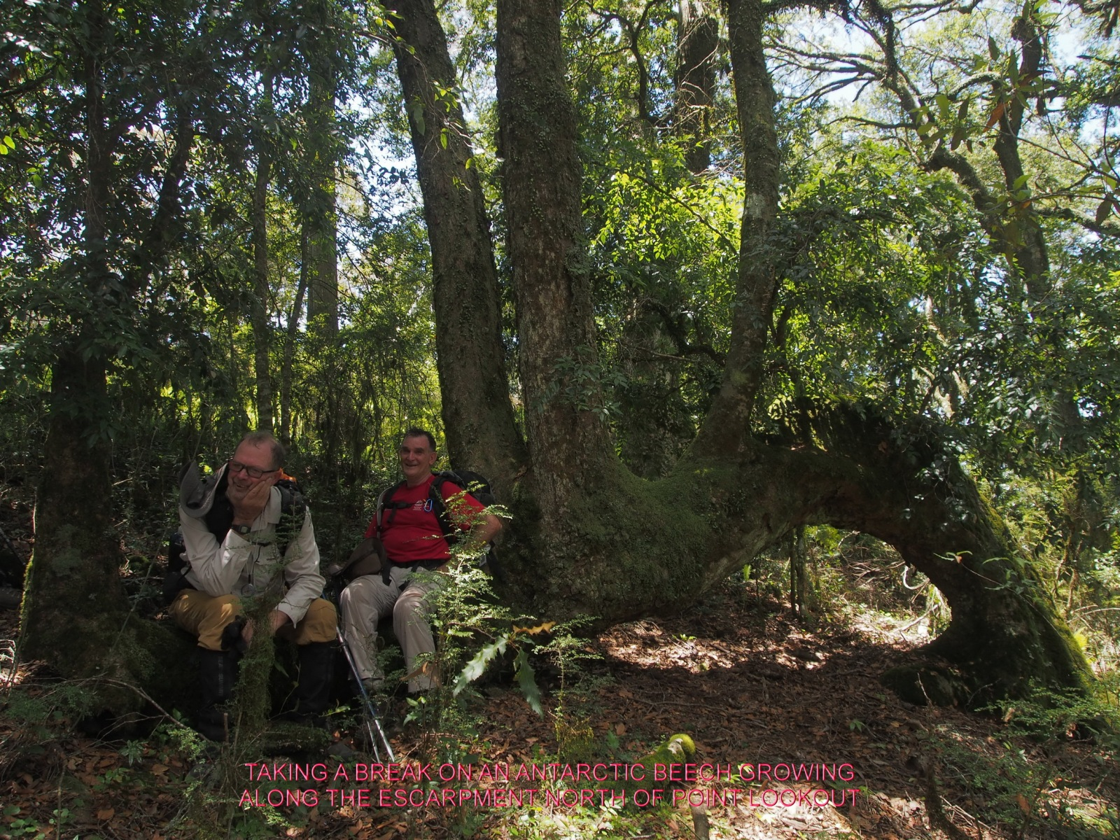 TAKING A BREAK ON AN ANTARCTIC BEECH GROWING ALONG THE ESCARPMENT NORTH OF POINT LOOKOUT